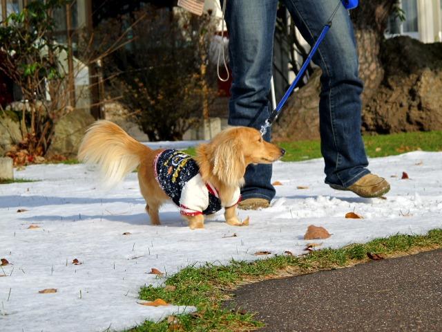 雪でもやっぱりお散歩命でつ!